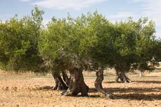Economy Tunisia - agriculture olive tree