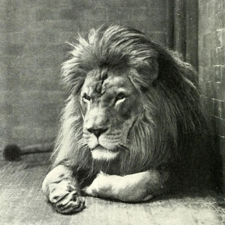 Sultan, the Barbary lion in the New York Zoo, 1896