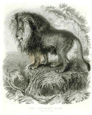Engravery of the Barbary lion from the 18th century