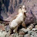 Geography Oman - Arabian Tahr