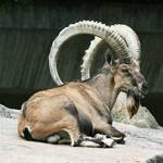 Geography Oman - Nubian Ibex