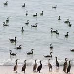 Geography Oman - Cormorants