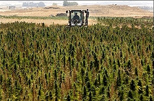 Cannabis production in the Beqaa Valley