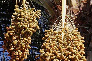 Dates palm