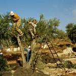 Harvesting olives in the West Bank