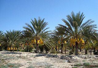الجزائرالجغرافية - زراعة النخيل في بسكرة