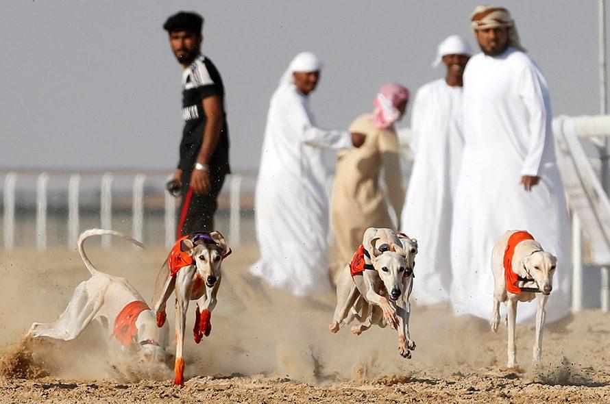 Arabian Saluki dogs competing