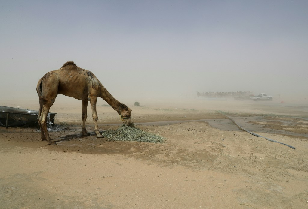 Around 12,000 camels and sheep became victims of the Gulf diplomatic crisis