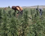 Lebanon Considering Legalizing Medical Cannabis