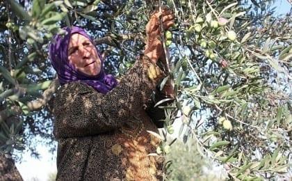 olives, salem, nablus