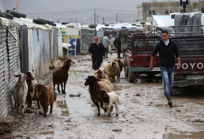 رجل سوري يرعى الأغنام في الأراضي الطينية بسبب هطول الأمطار الغزير في مخيم للاجئين السوريين في بلدة المرج في البقاع، شرق لبنان
