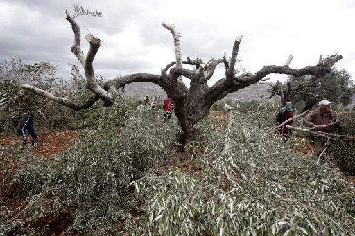Perpetuating Violence Against Olive Farmers and Palestinian Livelihoods