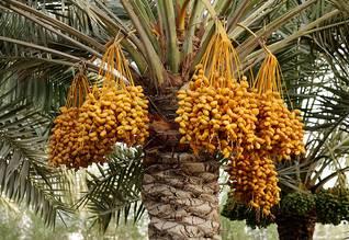 Economy Bahrain - Date palms