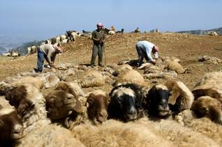 Lebanese shepherds / Photo HH