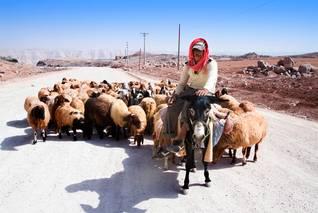 Economy Jordan - Sheep