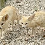 Libya Geography - Fennec desert foxes