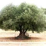 شجرة زيتون