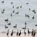 Geography Oman - Cormorants