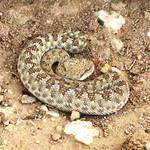 Geography Qatar - Horned Viper