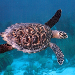 Geography Qatar - Sea Turtle