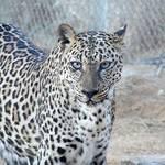 Geography UAE - Arabian Leopard