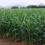 Geography UAE - Corn Field