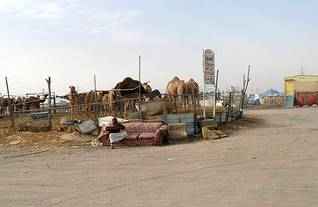 population kuwait - camel market in the desert