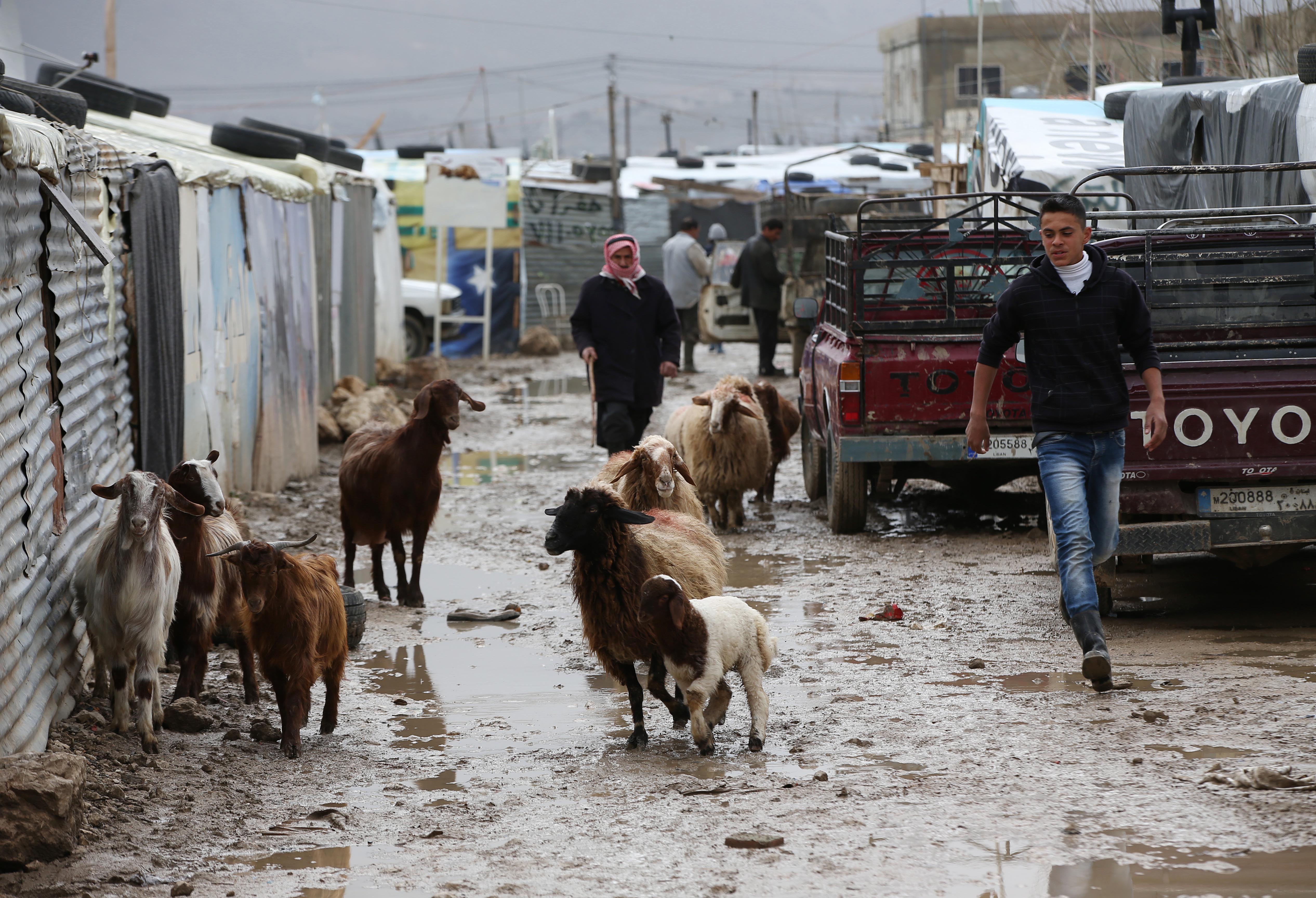 A Syrian man leads goats and sheep through mud from the heavy rains at a refugee camp in the town of Marej in the Bekaa valley, east Lebanon